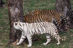 (oskar.bouvier) Tags: zoo maurice safari tigre rivirenoire lemaurice tigreblanc