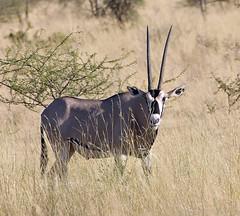 Beisa Oryx (Oryx beisa ssp. beisa) (Wildlife Fred25) Tags: animalplanet oryx beisaoryx oryxbeisa