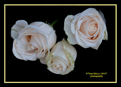 Bouquet special White Roses (Pepe (ADM)) Tags: flower nature flor fiori whiteroses fleure bouquetspecial