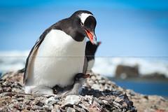 (Marianne Klock) Tags: penguin gentoo papua pingino pinginos pygoscelis gentoopenguin pygoscelispapua babypenguin chileanpenguin pinginopapua pinginobebe