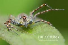 Lynx Spider (Oxyopidae) - DSC_4723 (nickybay) Tags: macro spider malaysia lynx johor oxyopidae endaurompinnationalpark