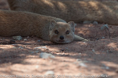 """Yellow Mongoose • <a style=""""font-size:0.8em;"""" href=""""http://www.flickr.com/photos/56545707@N05/8364526131/"""" target=""""_blank"""">View on Flickr</a>"""