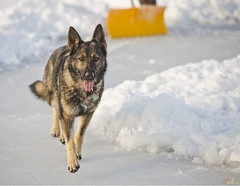 130107_7389 Trixie (MiFleur...Thanks for visiting!) Tags: winter dog chien pet snow animals action hiver explore germansheppard dogrunning bergerallemand favoriteanimal nikond600 mifleurdesign wwwmifleurdesigncom