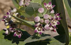 Calotropis procera, Karumba Pt, QLD, 30/08/05 (Russell Cumming) Tags: plant weed queensland apocynaceae normanton karumba calotropisprocera calotropis karumbapt