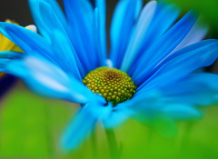 Blue Daisy~Explored! (j man ) Tags: life lighting blue friends light flower color macro art texture nature floral colors beautiful closeup composition lens photography petals illinois cool flickr dof blossom bokeh pov background sony details favorites 11 depthoffield pointofview sp ii views di if daisy f2 tamron centered comments ld jman af60mm flickrbronzetrophygroup a65v