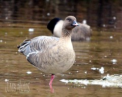 Standing on One Pink Foot! (McDuck17) Tags: bird nature pond feathers nj goose tomsriver pinkfoot pinkfootedgoose marshallspond jmbphotos jmbphotos2013