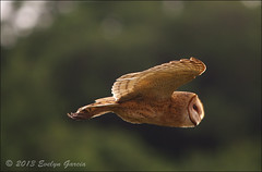 Barn Owl. (evelyng23) Tags: usa bird nature inflight interestingness florida wildlife flamingo flight january sigma scout explore 101 owl everglades evergladesnationalpark avian barnowl tytoalba aficionados 2013 i500 150500mm pentaxk5 1272013