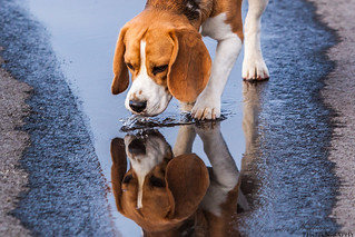 A beagle drinking from a puddle (On Explore 2013-02-06)