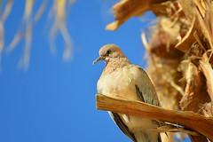 Saudi Dove (Paul Hemmunt) Tags: nikond600 kenkopro300afdgx14x tamron70300mmvcf456g