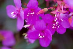 Purple Wild Flowers (jimbooliver) Tags: coffsharbour garden wildflower purple macro