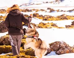 (jakobhelgi) Tags: dog malamute alaskan iceland reykjavik snow nature ball fetch