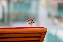 Dove Lounging at Sharq Village & Spa, Qatar (ynaka29) Tags: doha dove qatar sharqvillage sharqvillagespa hotel theritzcarlton pool bird
