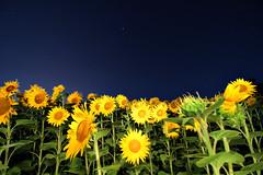 soli nell universo (vencjon) Tags: girasoli osoppo friuli natura cileo stelle volta celeste universo notturo notte fiori