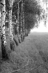 trees in field (Vadim Beldiy) Tags: treesinfield theacademytreealley nature naturebynikon field trees tree birch ukraine landscape landscapesdreams landscapesworld vadimbeldy blackwhite blackandwhite monochrome nikon nikon1v1 nikonone 1nikkor10mmf28 nikkor10mmf28 nikon1 nikonv1 nikonpassion bw brilliant