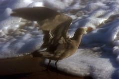 Take Off (F.emme) Tags: beach huntingtonbeach gulls seagulls pacificocean ocean