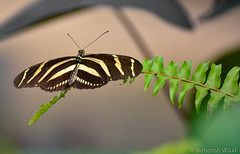 Heliconius charitonia, Zebra longwing (DiDaDoDeborah) Tags: butterfly butterflies vlinder vlinders vlindorado insect flickrinsects closeupinsect bestinsect heliconius charitonia zebra longwing