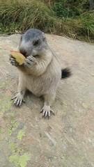Marmot love apples - video - rotated (Jackie & Dennis) Tags: spielbodenmarmots marmots spielboden saasfee switzerland swiss murmeltier marmotamarmota marmota marmotte