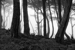 lands end monterey cypress (hbphototeach) Tags: approved montereycypress trees blackandwhite fog landsend bayarea sanfrancisco landscape landscapephotography nature outdoorphotography beautifullight forest california