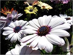 Daisy Days (Mary Faith.) Tags: daisies onblack macro