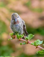 I have been Spotted. (Omygodtom) Tags: wild outdoors abstract animalplanet bokeh bird anashummingbird natural nature nikon d7100 tamron90mm texture tamron real branch