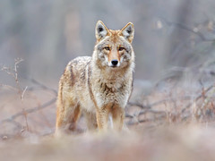 Coyote (Steve Gifford - IN) Tags: 2016 hilook proposal lens cloth steve steven gifford haubstadt indiana