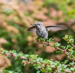 Not Sure. (Omygodtom) Tags: wildlife wild outdoors bokeh bird animalplanet anashummingbird tamron90mm texture tamron nature natural nikon d7100 urbunnature