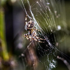 spider ready to pounce (PDKImages) Tags: spider spiders webs macro beauty silhouettes legs creepy danger feeding striped pounce nature