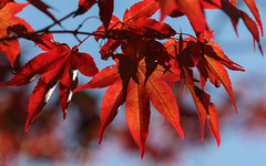 Back ... (AnyMotion) Tags: japanesemaple fcherahorn acerpalmatum leaf leaves blatt bltter foliage autumncolours herbstfrbung 2016 anymotion plants pflanzen nature natur portalberni vancouverisland british columbia canada kanada colours colors farben red rot autumn fall herbst autunno otoo automne