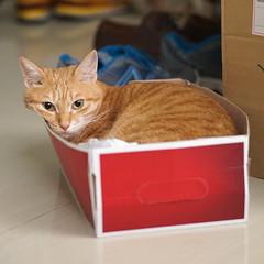 DSC09798S (lazybonessss) Tags: cat sonya7 sonyilce7 leica elmaritm90 inthebox momo kitten2