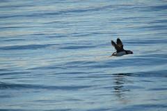 Puffins - Papageientaucher (SoniaShari) Tags: nikon d3200 island iceland papageientaucher puffin bird vogel oiseau meer mare ocean sea wasservogel