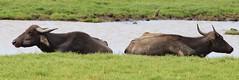 Bookends (MKBirder) Tags: minneriya waterbuffalo mammals wildlife pairs safari parks srilanka conservation bathing