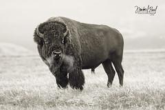 The Alpha Male (facebook.com/michaelpaulphotoworks) Tags: bison buffalo tetonnationalpark grandtetonnationalpark tetons nationalpark wyoming jacksonwyoming wildlife nikon animals americanbuffalo tatanka
