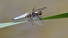Broad-bodied Chaser (image 1 of 2) (Full Moon Images) Tags: rspb strumpshaw fen wildlife nature reserve norfolk insect macro broadbodied chaser dragonfly male