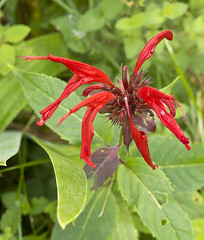 bee balm (cwohlers) Tags: wildflowers woodbury vt vermont
