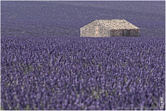 Sea of Lavender (alamond) Tags: field lavender viollet house cottage stone old provence france canon 7d markii mkii llens ef 70300 f456 l is usm alamond brane zalar