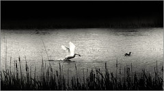 My memory of August 1968 (piontrhouseselski) Tags: 1968 swan birds lake pond bw