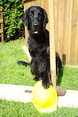 DSC_0899 (Flat Coated Retriever in Berlin) Tags: zeuthen 20011 clicker halten