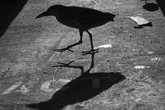 Untitled (blueteeth) Tags: bird shadow silhouette highkey monochrome bw