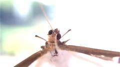 September the 5th, 2016 / Box Tree Moths Like Snow (1'32) (Vanessa Vox) Tags: september5th2016 boxtreemoths caterpillar buchsbaumznsler pyraledubuis invasion mobilevideo mobilemusic apps imovie lumafx garageband thumbjam vanessavox