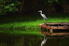 DSC_7846 copy (kin hoong2013) Tags: shadow cloud outdoor shah alam bird lake water tasik malaysia green flamingo