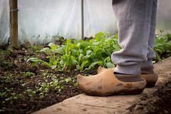 A garderner, his clogs, and his radishes (cypriencharra) Tags: garden jardin radis bretagne france europe sabots gardener jardinier radish clog serre greenhouse green vegetables