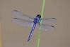 slaty skimmer (Black Hound) Tags: sony a500 minolta dragonfly odonata slatyskimmer