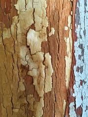 Eucalyptus delegatensis Detail ** (CactusD) Tags: apple iphone 6plus london kewgardens gumtree eucalyptus trees detail texture botanic garden delegatensis mtsub