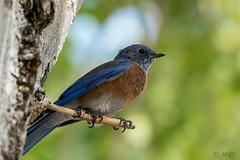 The Beauty of the Blue Bird (MelRoseJ) Tags: antioch california unitedstates birds nature northerncalifornia sonyalpha sal70400g sony sonyilca77m2 a77ii alpha autofocus bluebird contraloma eastbayregionalparks ebparksok
