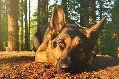 Soaking up the Sunshine (Swaja's Aviation Art) Tags: gsd german shepherd dog breed female girl pup pet nature animal trees sun sunshine autumn fall color light eyes nikon d5100