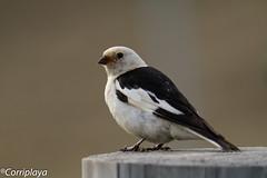 Escribano Nival Snow Bunting (Plectrophenax nivalis) (Corriplaya) Tags: aves birds corriplaya escribanonival snowbunting plectrophenaxnivalis