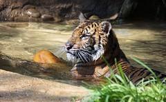 Soaked Suka (greekgal.esm) Tags: sumatrantiger tiger bigcat cat feline animal mammal carnivore suka sandiegozoo safaripark tigertrail escondido california globaltigerday sony a77m2 a77mii sal70300g endextinction pool water