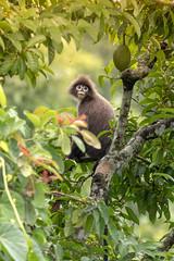 (Showkat.Shuvro- ) Tags: wild wildlife monkey leafmonkey showkatshuvro sylhet snp explorebangladesh