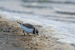 Grand Gravelot (Jean-Phi.) Tags: charadriids charadriiformes charadriushiaticula commonringedplover grandgravelot bird oiseau