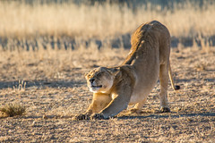 Late Afternoon Stretch (Brendon White) Tags: lion lioness pantheraleo kgalagaditransfrontierpark kalaharigemsboknationalpark gemsboknationalpark nature wildlife mammal nikon d7100 northerncape southafrica botswana